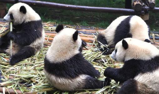 Pandas at Chengdu Research Base