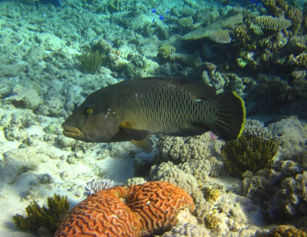 Scribbled snapper, one of several species of snapper found in Australian waters. This one was seen in the Great Barrier Reef. Image credit: Eric Johnson/NOAA. (via Flickr.com)