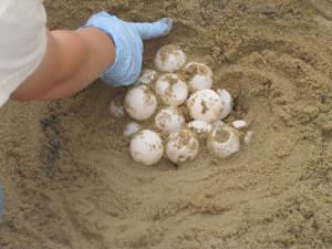 sea-turtle-eggs-usfw-580
