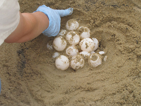 sea-turtle-eggs-usfw-580