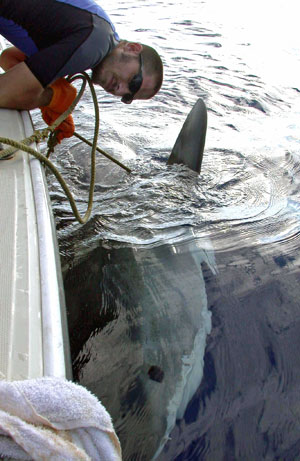 A researcher tagging a tiger shark. Image credit: University of Hawaii at Manoa.