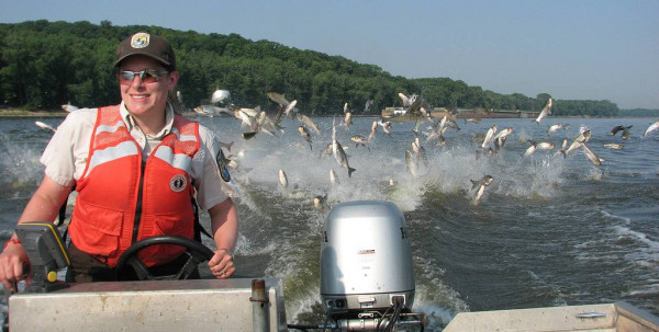 Silver carp in the Illinois river, startled by the sound of the motor, jump in the wake of a motorboat driven by a U. S. Fish and Wildlife service employee. Image credit: U. S. Fish and Wildlife Service.