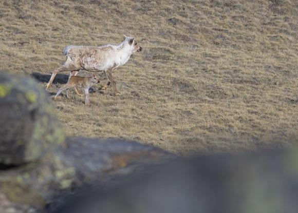 Caribou-calf