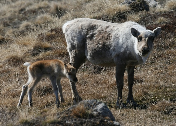 Caribou-mother-calf