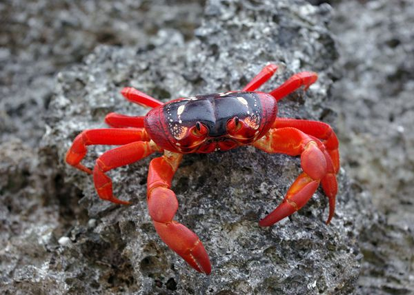 Christmas Island Red Crab.Will Climate Changes Keep Red Crabs Of Christmas Island From