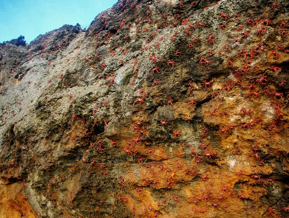 To reach the shoreline, red crabs sometimes have to scale steep cliffs. Image credit: Allison Shaw.