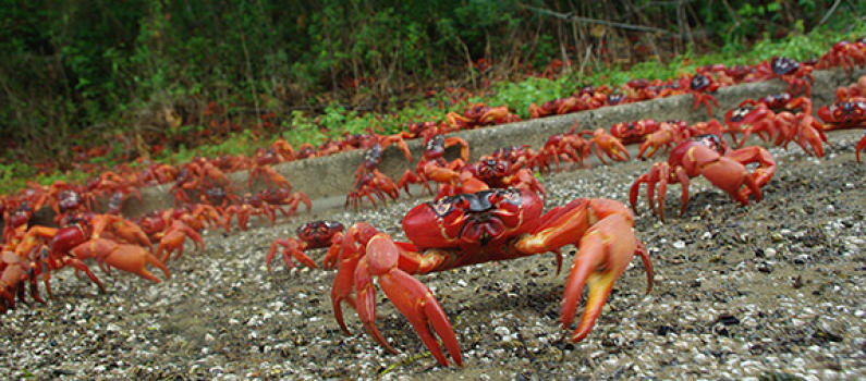 Red crab migration on Christmas Island. Millions of crabs emerge from the forest at the start of the rainy season in November. Image credit: Allison Shaw.