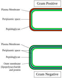 Simple gram-positive cell wall (top) vs. more complex gram-negative version with spiffy outer membrane. Image: Graevemoore, Wikipedia.