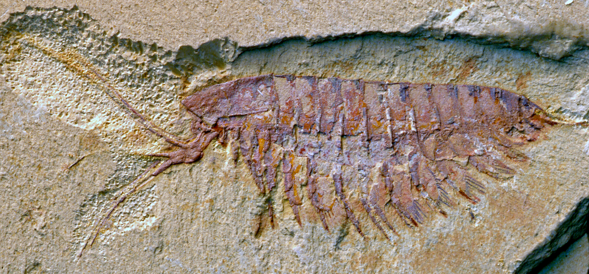 A fossil of another megacheiran that's closely related to the new Alalcomenaeus, Leanchoilia illecebrosa. The megacheiran's characteristic forceps-like great appendages is clearly visible in this specimen. Like the new Alalcomenaeus, it's a distant relative of scorpions and spiders. Image credit: Xianguang Hou/Yunnan University, China.