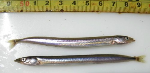 Sand lance serve as a major food item for cod, salmon and whales. Image via CaRMS Photogallery/Claude Nozères.