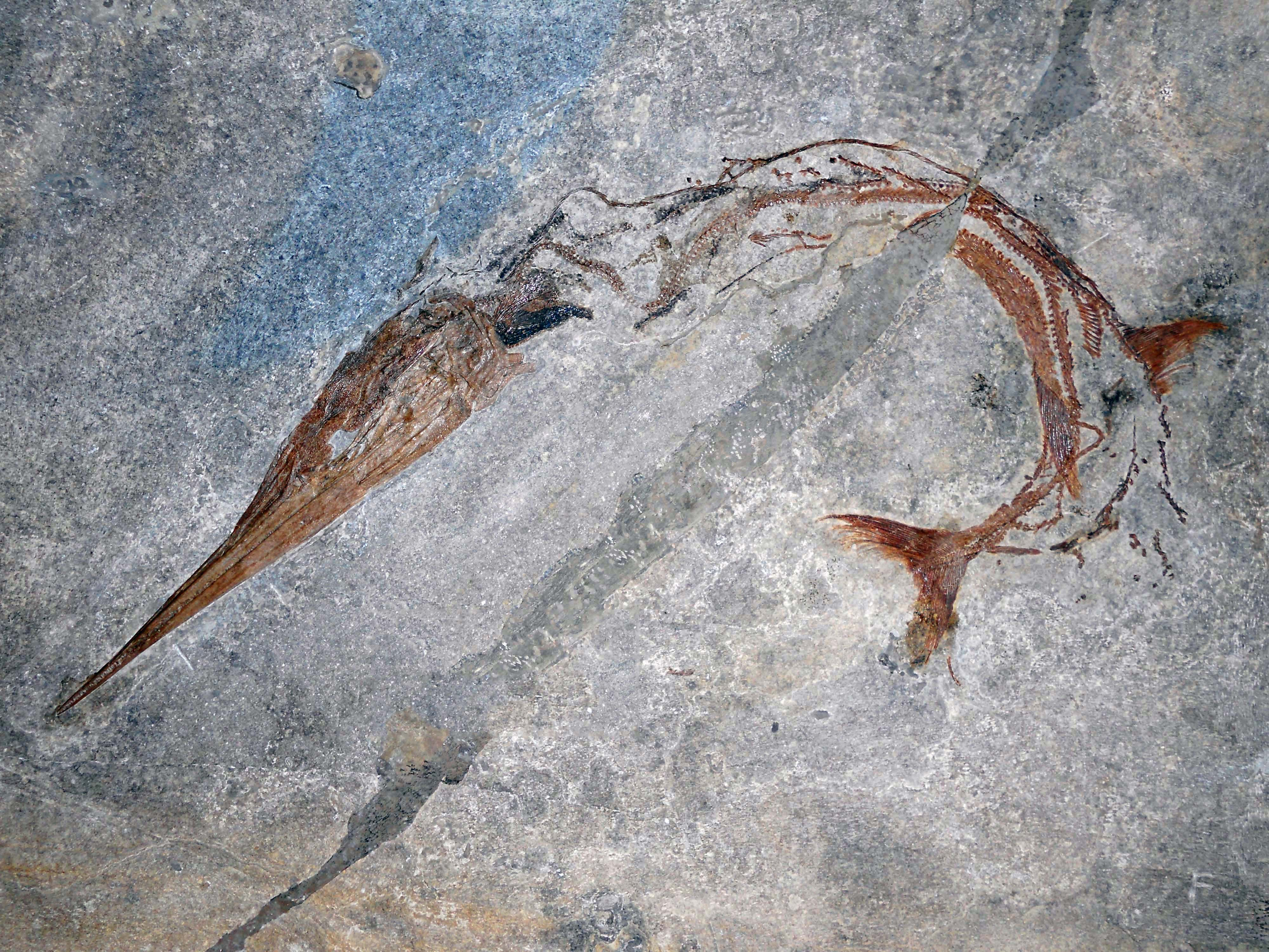 The 240 million year old fossil fish, Saurichthys curionii, a primitive predatory fish with a unique backbone structure. Image Credit: University of Zurich.