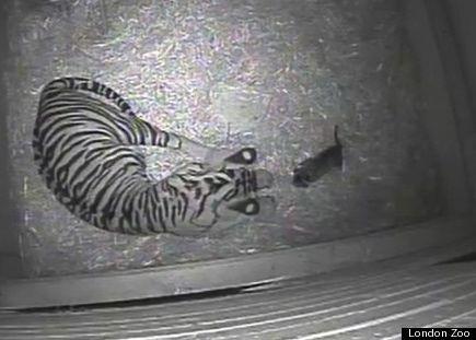 Sumatran tiger Melati and cub