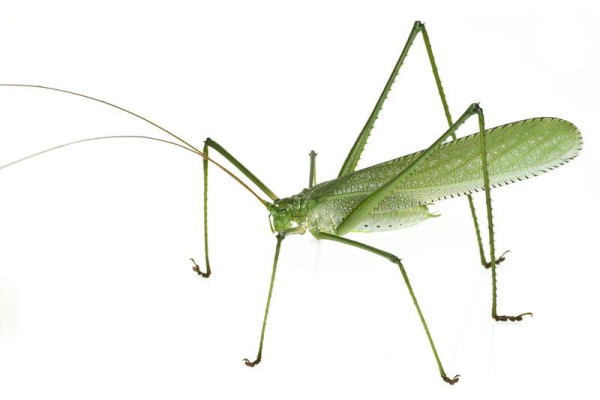 This katydid species, a type of grasshopper, could also be a new species. It has unusually long legs with sharp spines for defense against predators. Image credit: Piotr Naskrecki.