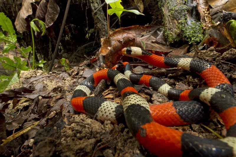 The false coral snake may have the vivid colors of venomous coral snakes, but not their toxic venom. It is one of the 19 snake species recorded in the survey. Image credit: Piotr Naskrecki.