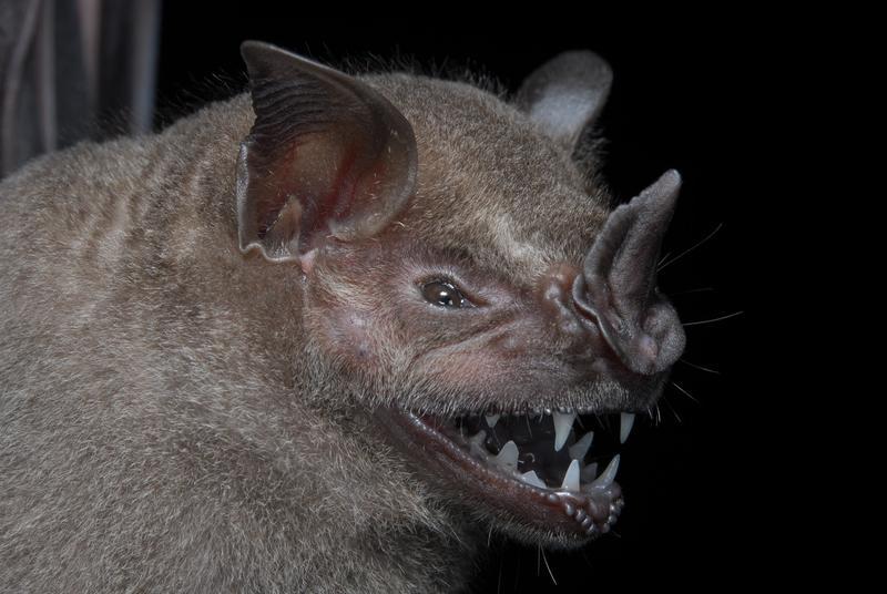 Of the 28 bat species found during the survey, the larger fruit-eating bat (Artibeus planirostris) is most common. Image credit: Burton Lim.
