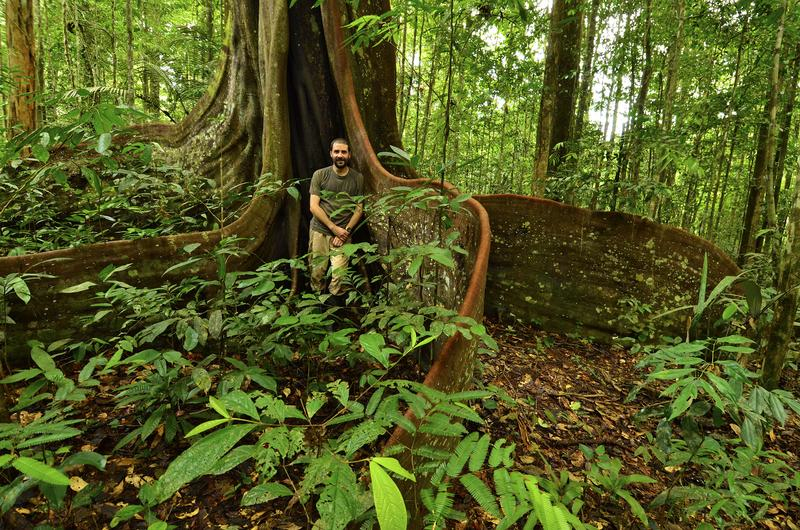 The purpleheart tree has one of the densest hardwood in the world. It has exceptionally large roots for support during violent storms and flood. In the photo is Trond Larsen of Conservation International. Image credit: Trond Larsen.