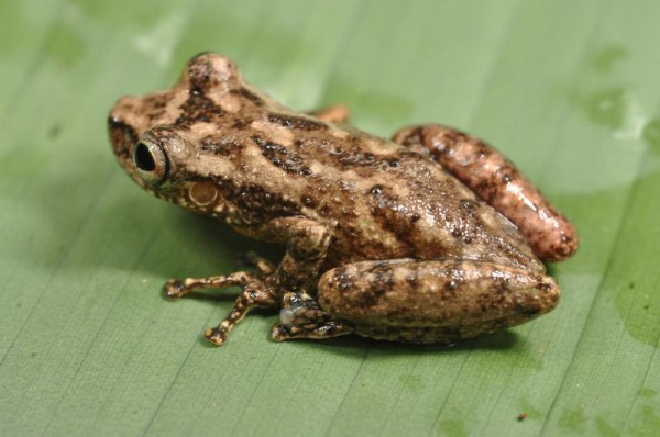 A snouted tree frog, possibly a new species, belongs to a genus of fast-moving nimble frogs. Image credit: Stuart V Nielsen.