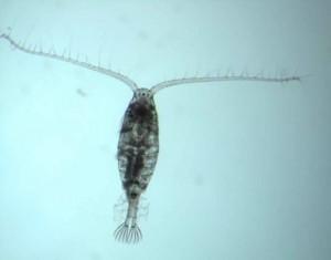 calanoid-copepod