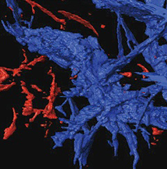 In a rock and metal sample created by Stanford scientists to mimic the make up of the early Earth mantle, drops of molten iron merge to form a network. In this X-ray tomography image of the sample, the channels labeled in blue are interconnected. Image credit: Crystal Shi