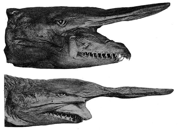 Portrait of a goblin shark. Image Source: Hussakof (1909) Bulletin of the American Museum of Natural History, vol. 26, pp. 257-262.