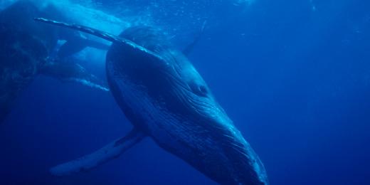 Humpback whale, via montereybayaquarium.org.