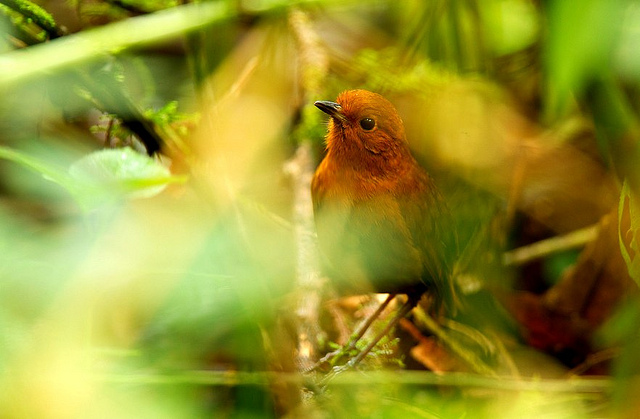 Rufous antpitta are furtive little birds that live on the forest floor. Image credit: Francesco Veronesi  via Flickr.com.