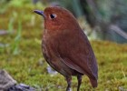 Rufous antpitta via: Jerry Oldenettel