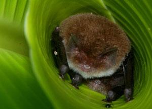 spixs-disc-winged-bat-anton-sorokin-300