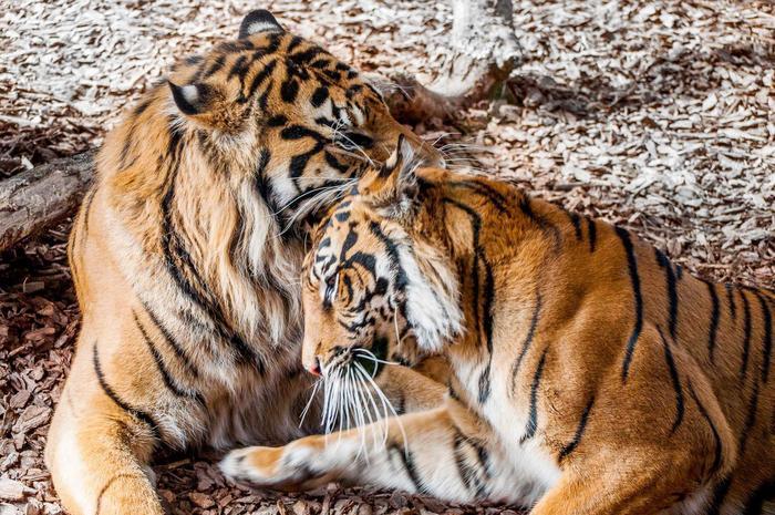 Proud parents, Jae Jae and Melati. Photo via London Zoo.
