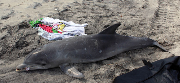 Bottlenose dolphin stranding in New Jersey. Photo via Marine Mammal Stranding Center via NOAA.