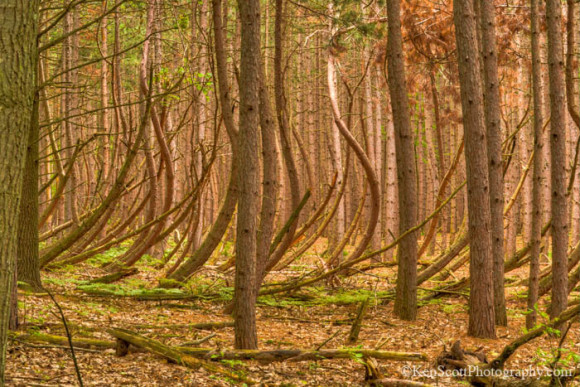 Ken Scott was hiking at the Sleeping Bear Dunes National Lakeshore, in Michigan, when he came upon these bent trees. Photo by Ken Scott. Used by permission.
