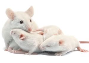 Mice-pups