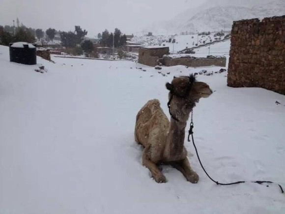 Camel in the snow in Sinai, Egypt on December 13, 2013. Image Credit: Saleh Mousa