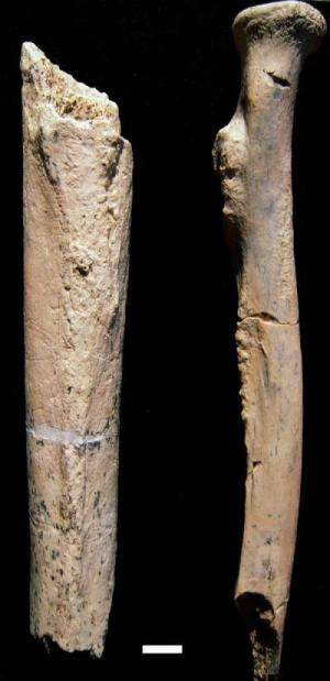 Arm bone fragments from a 1.34-million-year-old hominin, Paranthropus boisei, were discovered by an international research team in Tanzania. (Credit: University of Colorado Denver)