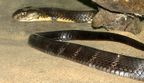 South Indian King Cobra via Wikimedia Commons