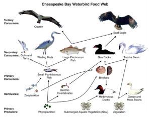 Sample food web. Image: US-Geological-Survey.