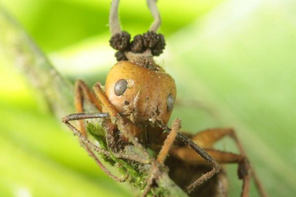 Zombie ant, via HughesLab/David Hughes.