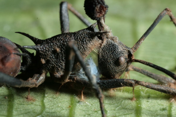Fruiting body of fungus protruding out of a dead ant. HughesLab/David Hughes.