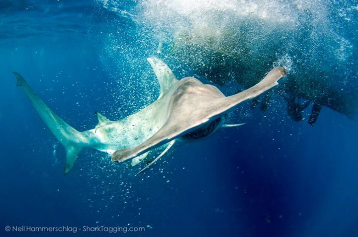 Great Hammerhead sharks, that only reproduce once every two years, are classified as
