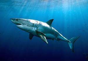 Image credit: Greg Skomal, MA Marine Fisheries.