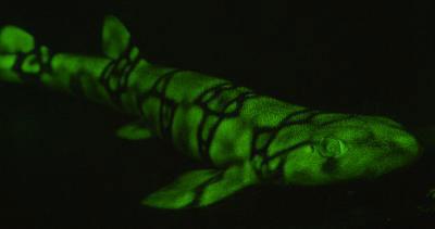 Green fluorescent chain catshark (Scyliorhinus retifer).