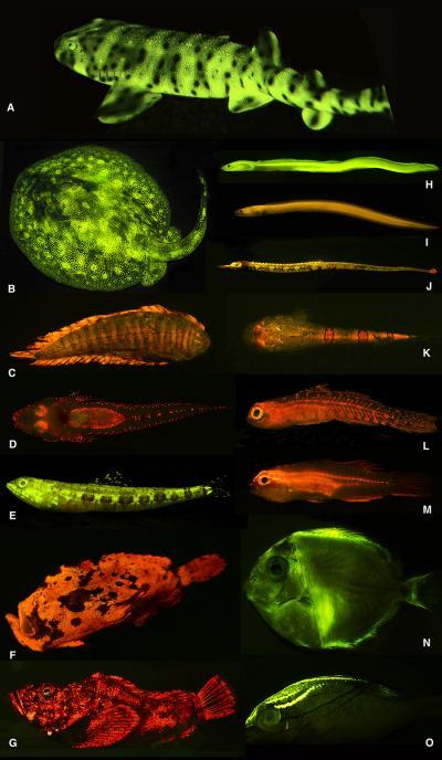 Researchers discovered a rich diversity of fluorescent patterns and colors in marine fishes, as exemplified here. A). swell shark (Cephaloscyllium ventriosum); B). ray (Urobatis jamaicensis); C). sole (Soleichthys heterorhinos); D). flathead (Cociella hutchinsi); E). lizardfish (Saurida gracilis); F). frogfish (Antennarius maculatus); G). stonefish (Synanceia verrucosa); H). false moray eel (Kaupichthys brachychirus); I). Chlopsidae (Kaupichthys nuchalis); J). pipefish (Corythoichthys haematopterus); K). sand stargazer (Gillellus uranidea); L). goby (Eviota sp.); M). Gobiidae (Eviota atriventris); N). surgeonfish (Acanthurus coeruleus, larval); O). threadfin bream (Scolopsis bilineata). Image credit: ©AMNH