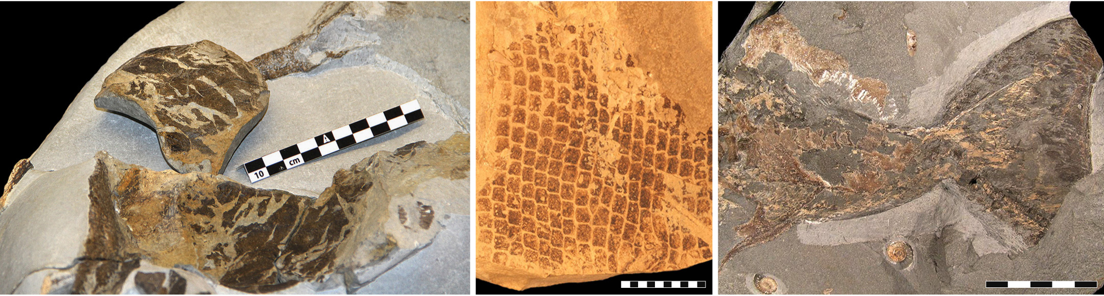 Left: an image of fossilized skin from a 55 million year old leatherback turtle (scale bar, 10 cm). Center: scales from an 85 million-year-old mosasaur (scale bar, 10 mm). Right: the tail fin from a 196 million-year-old ichthyosaur (scale bar, 5 cm). Image credit: Bo Pagh Schultz, Johan Lindgren and Johan A. Gren.