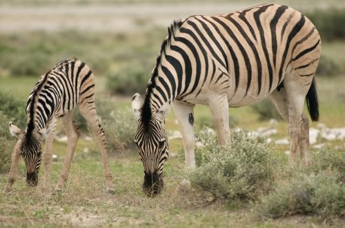 Zebras grazing in Etosha National Park, Namibia. Image Credit: Holly Ganz, UC Davis.