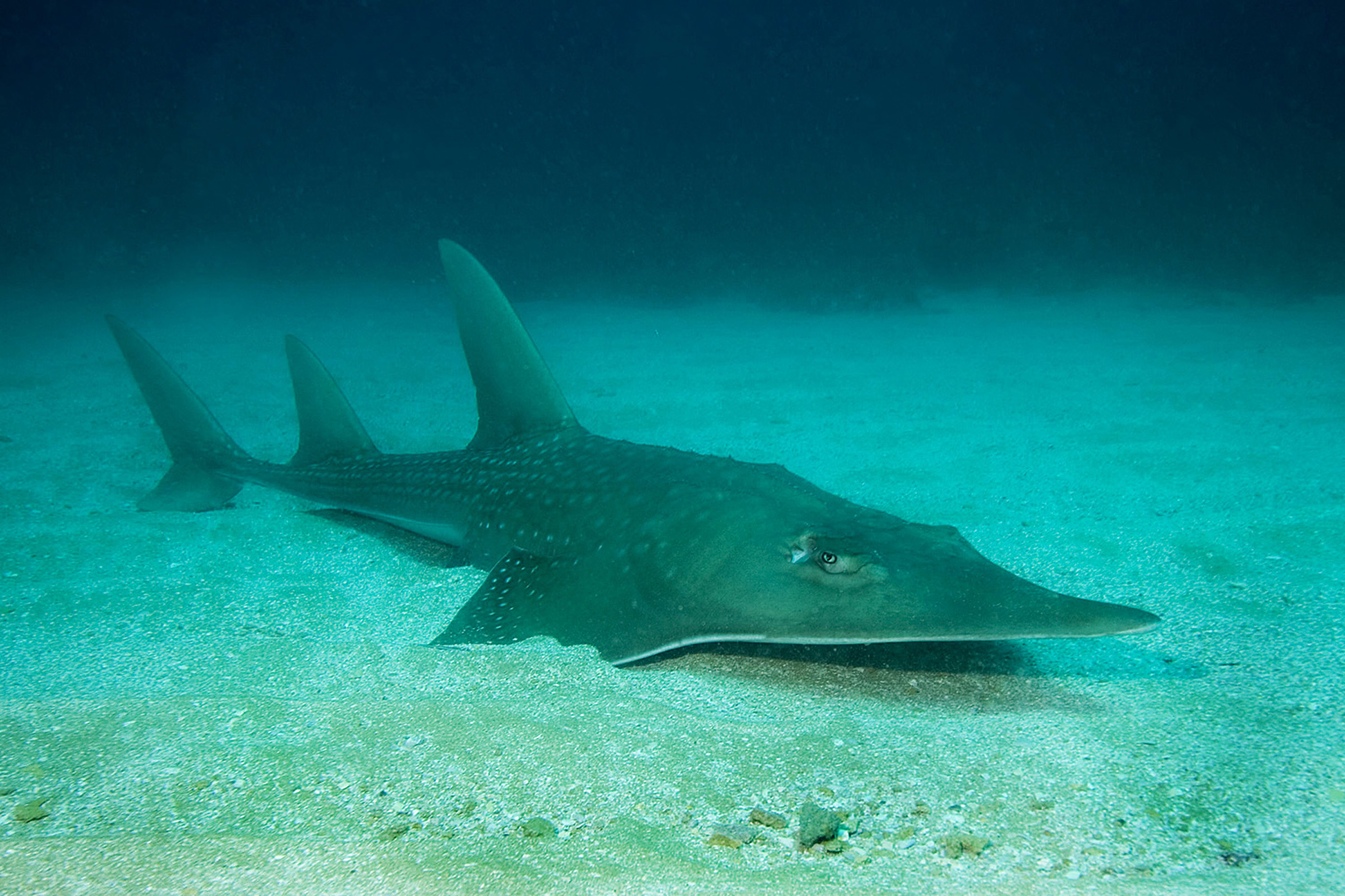Giant guitarfish are classified as