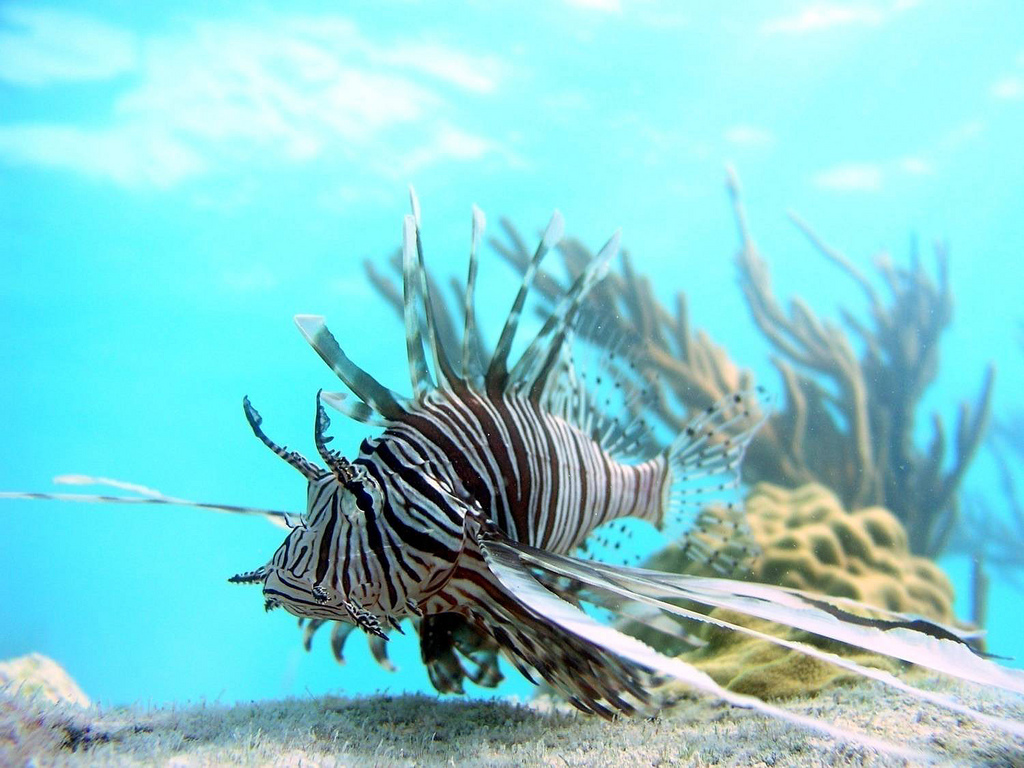 A captive lionfish. Image credit: Stephanie Green, Oregon State University.