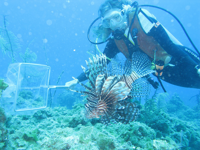 Stephanie Green, a marine ecologist at Oregon State University,  catching a lionfish at the  Eleuthera reef in the Bahamas. Image credit: Lad Akins, Reef Environmental Education Foundation.