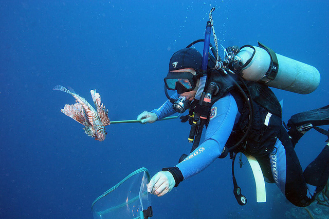 At Salt Cay, Turks and Caicos islands, in the British West Indies, Richard Agraba hunts lionfish as part of a local effort to control their population in reefs. Image credit: Oregon State University.