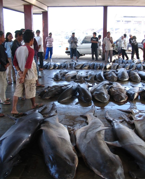Daily auction for shark catches at Tanjung Luar, Lombok, Indonesia. Image via Australian National Fish Collection, CSIRO.