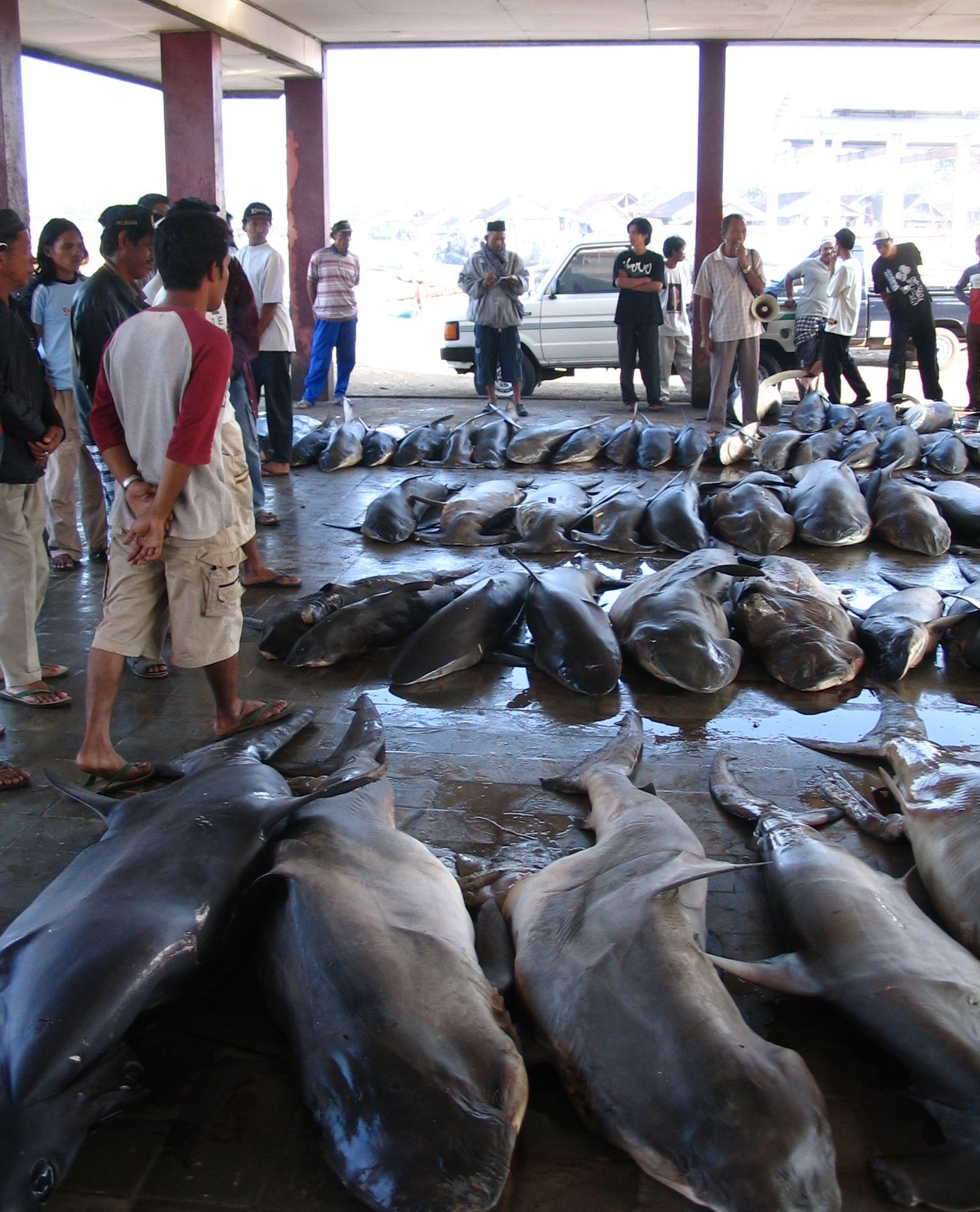 Large sharks and rays could go extinct in coming decades for White fish market